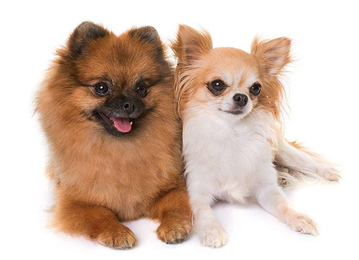 Pomeranian Puppies in Dubai