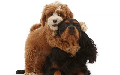 Cavalier King Charles puppies for sale in Dubai