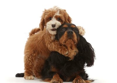 Cavalier King Charles Puppies in Dubai