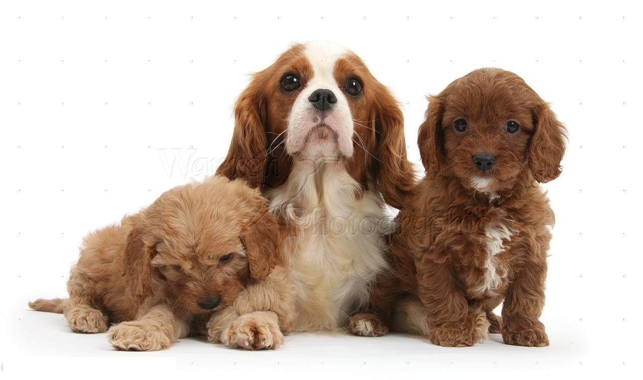 Cavapoo Puppies in Dubai