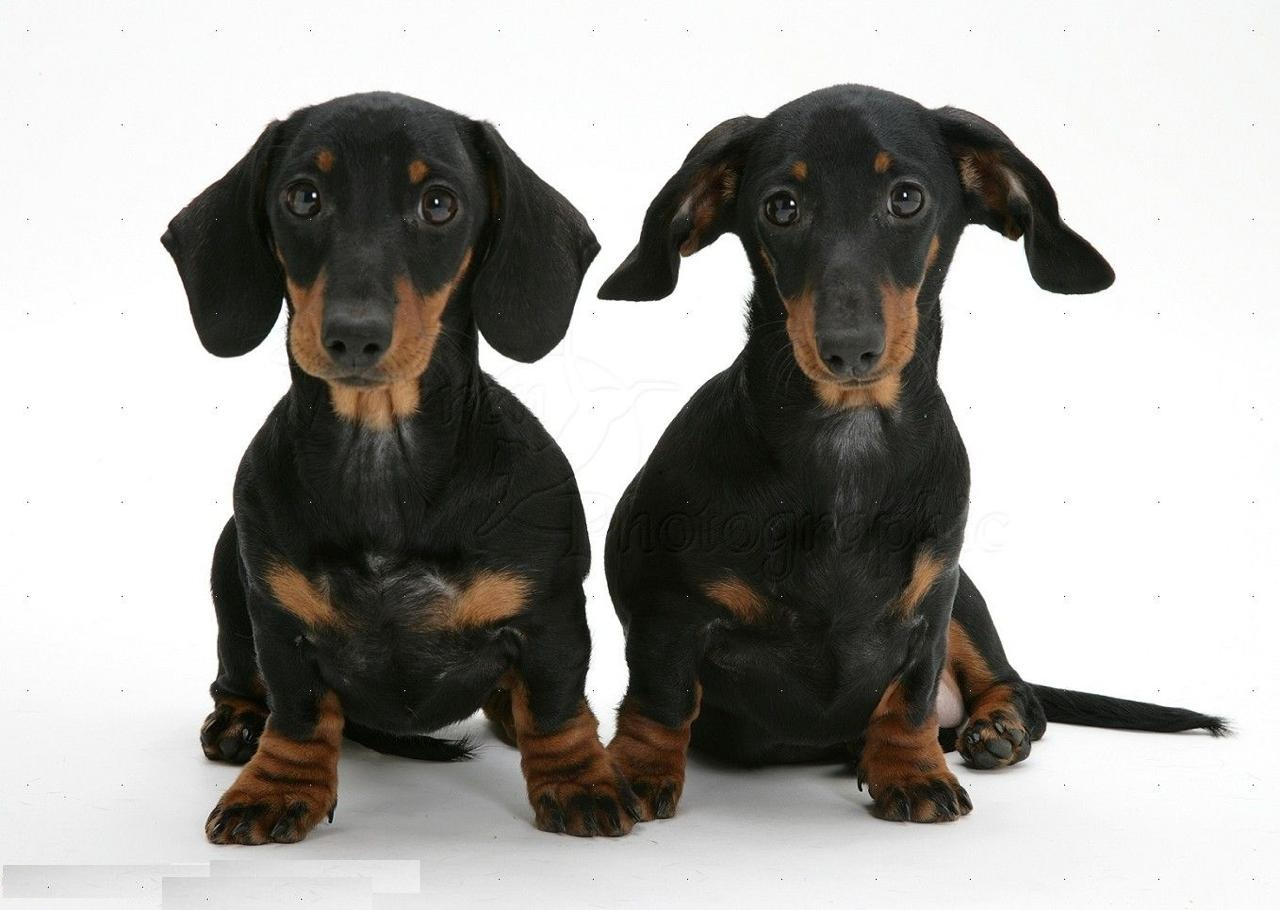 Dachshund Puppies in Dubai