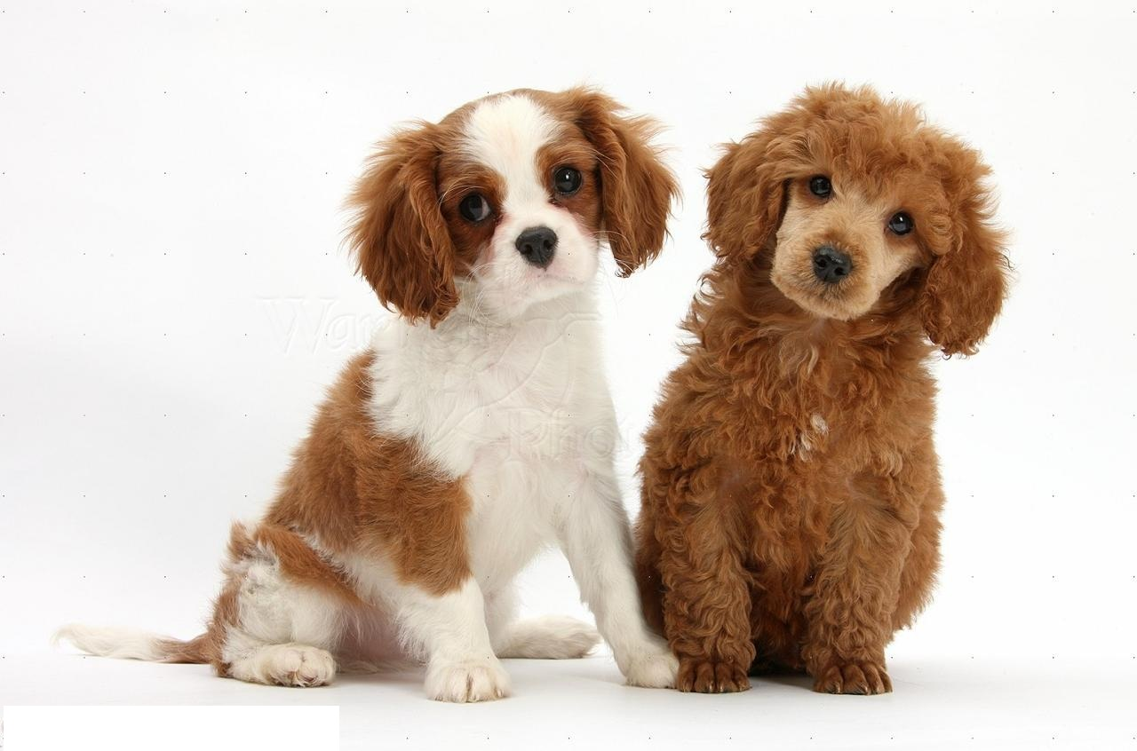 Poodle Puppies in Dubai