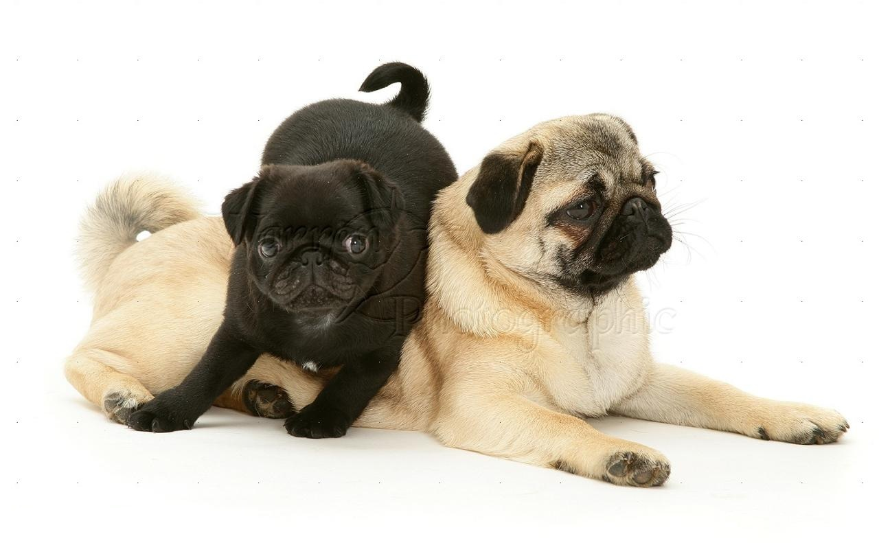 Pugs Puppies in Dubai